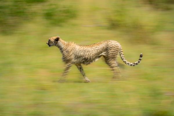 slow pan of female cheetah in