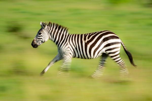 slow pan of plains zebra in
