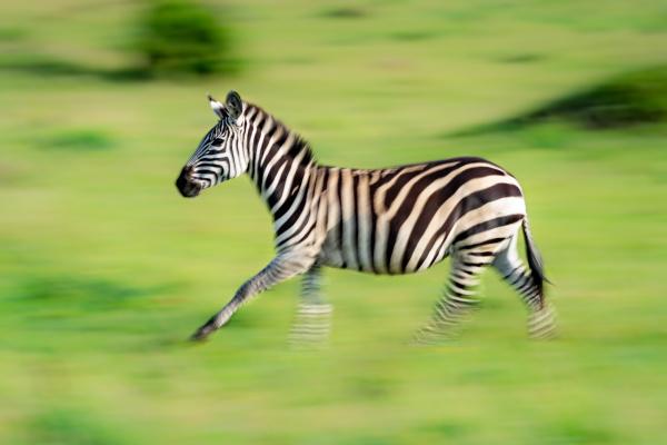 slow pan of plains zebra on