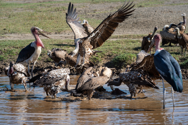 storks and vultures fight over river