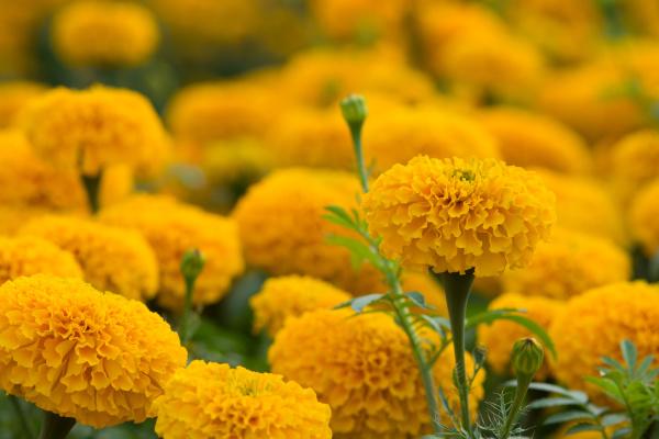 orange marigolds flower fields selective