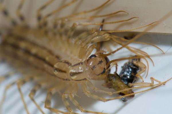 house centipede scutigera coleoptrata feeding of