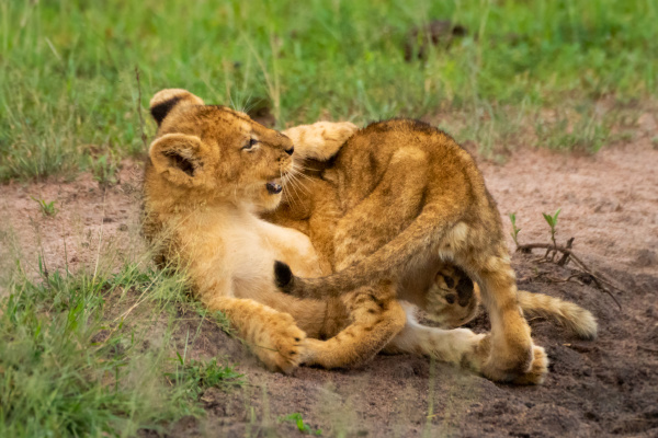 two lion cubs in grass play