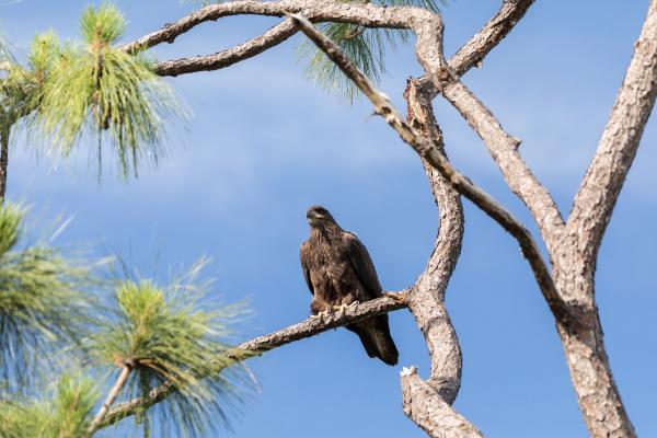 juvenile bald eagle haliaeetus leucocephalus bird