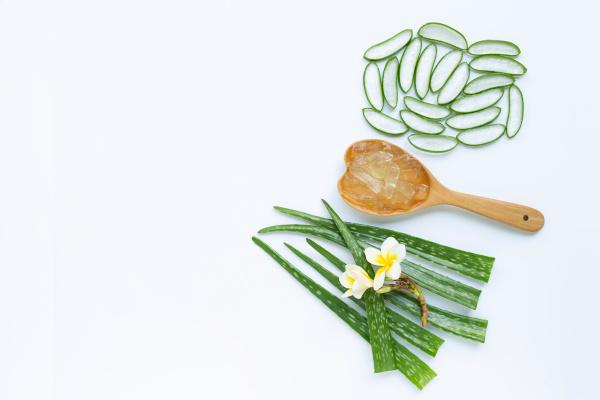 aloe vera is a popular medicinal