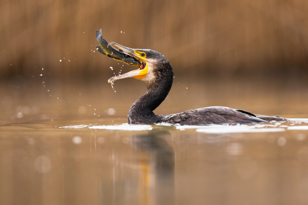 successful great cormorant catching a fish