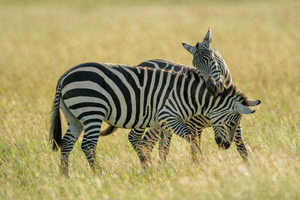 two plains zebra fight in tall