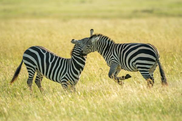 two plains zebra fighting in long