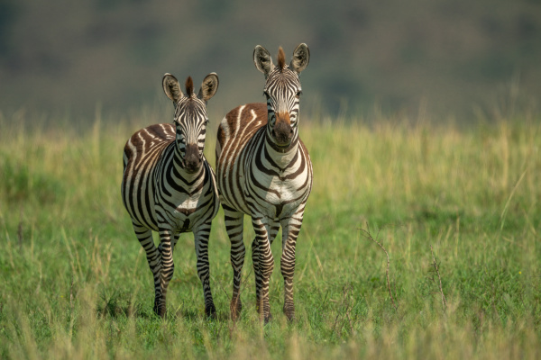 two plains zebra stand in long