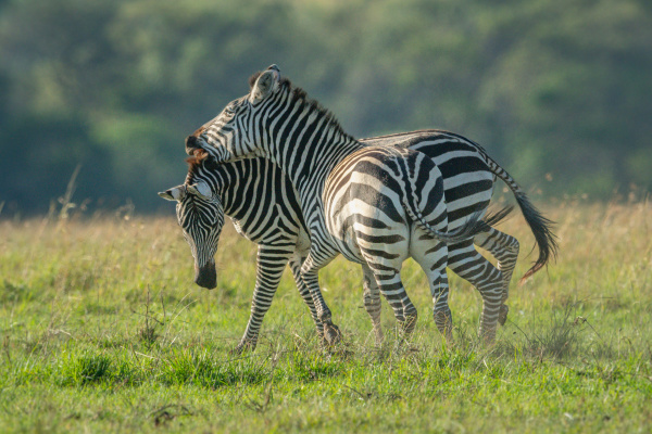 two teenage zebra play fighting in