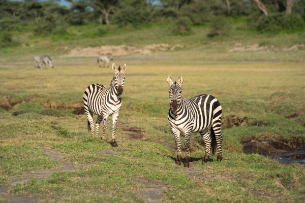 two plains zebra beside river face