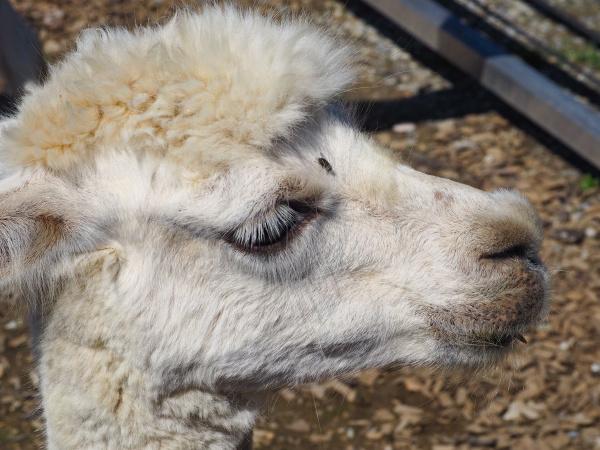 portrait of an alpaca farm animal