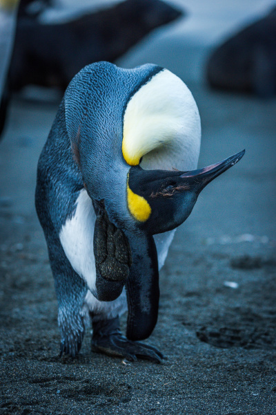 king penguin scratching behind head with