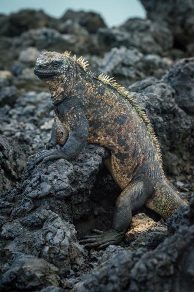 marine iguana in profile on volcanic