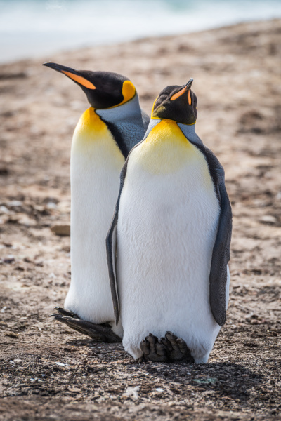 two king penguins side by side
