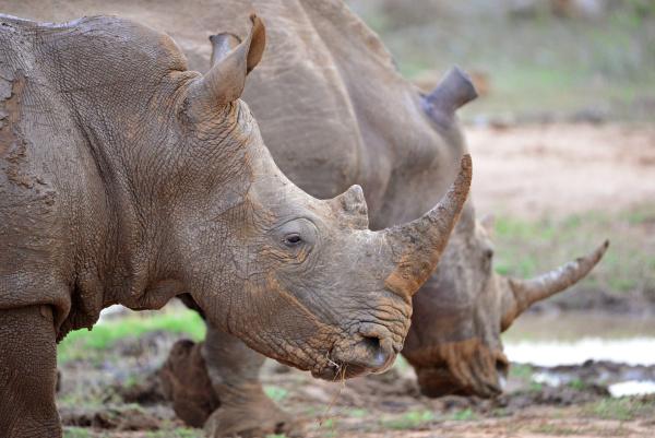 hlane royal national park swaziland white