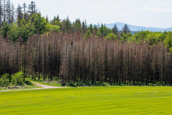 spruce forest dieback because of drought