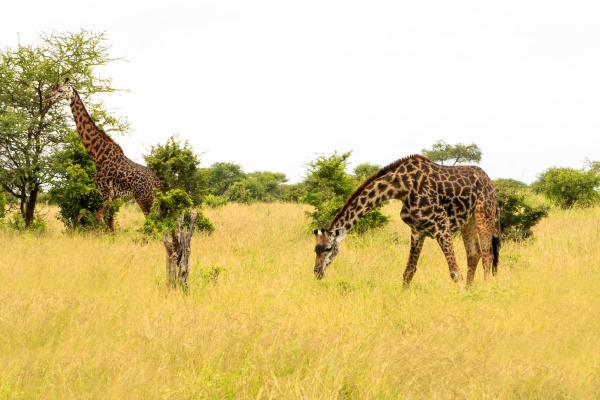 girafee