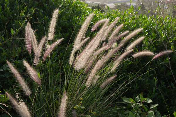 cat s tail pennisetum setaceum