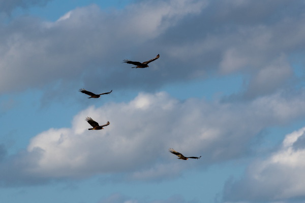 turkey vulture cathartes aura single bird