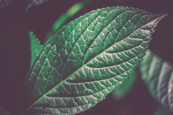 green leaves of hardwood image