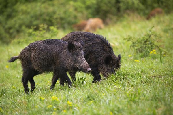 wet wild boars feeding on green