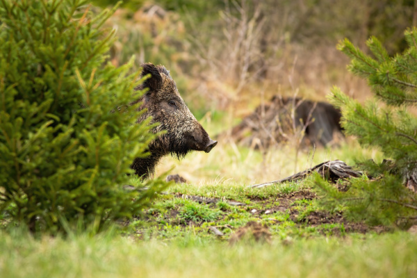 dreamy wild boar waiting hidden behind