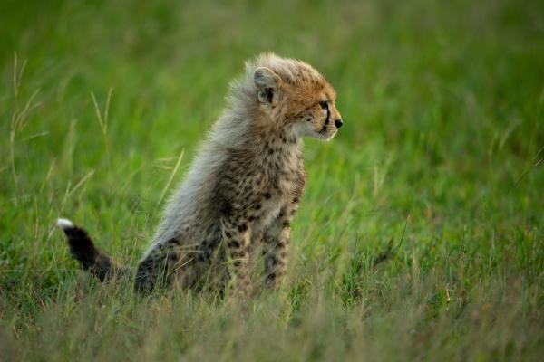 cheetah cub sits in profile in