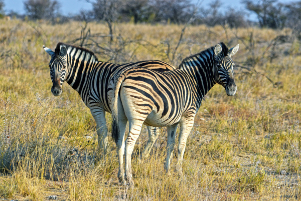 zebras in the etosha national park