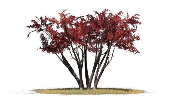 crape myrtle bush isolated on