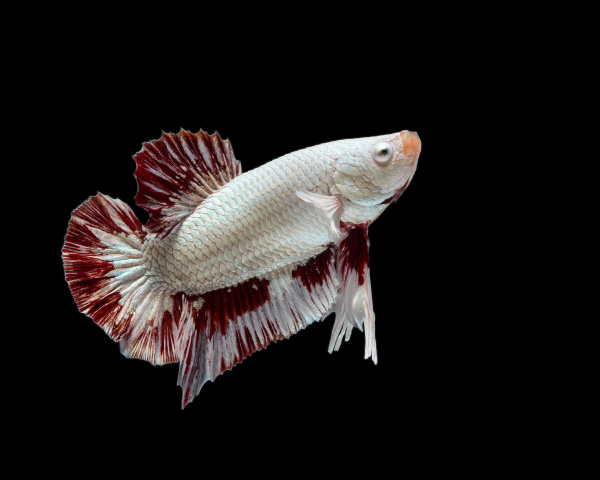 siamese fighting fish is the freshwater