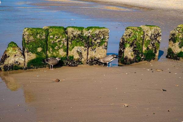 seagulls nibble on groynes on sylt