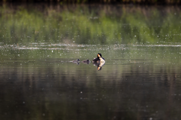 a great crested grebe with chicks