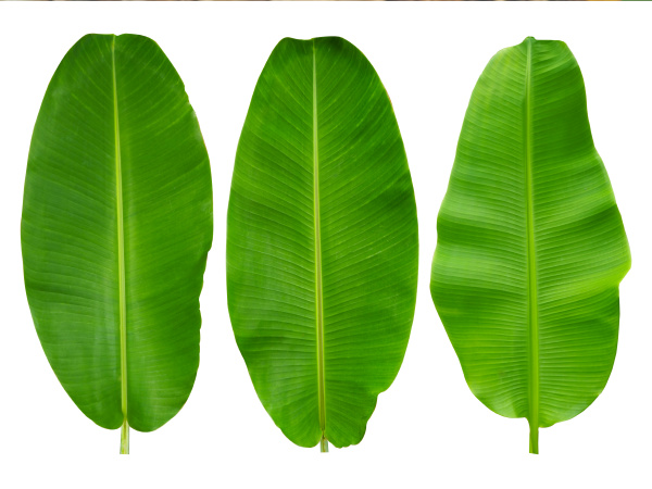 3 banana leaves isolated on a