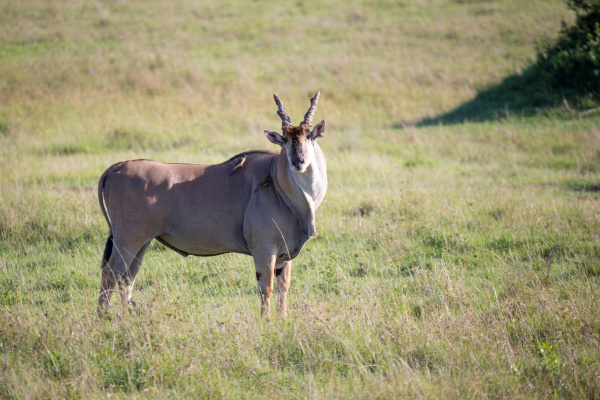 eland the largest antelope in a