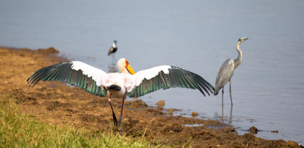 a marabou bird dries his wings
