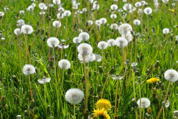 blooming meadows dandelions