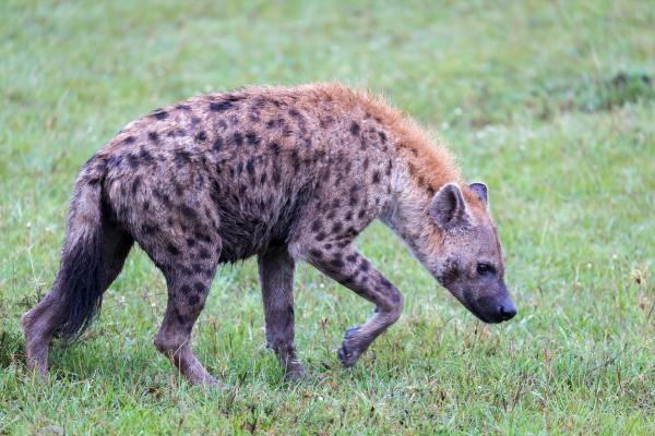 a hyena walks in the savanna