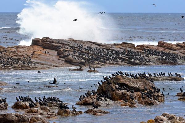 cormorants at the cape of good