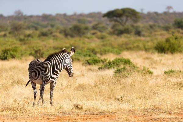 a grevy zebra is grazing in