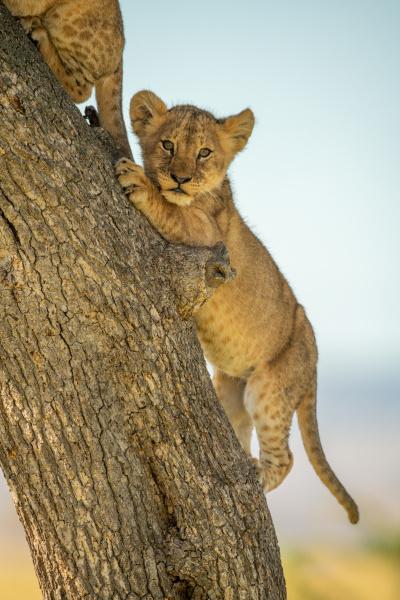 lion cub climbs tree trunk behind