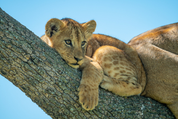lion cub lies curled up on