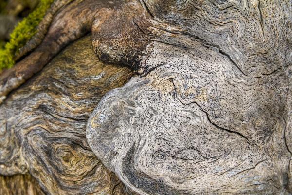 burlwood closeup