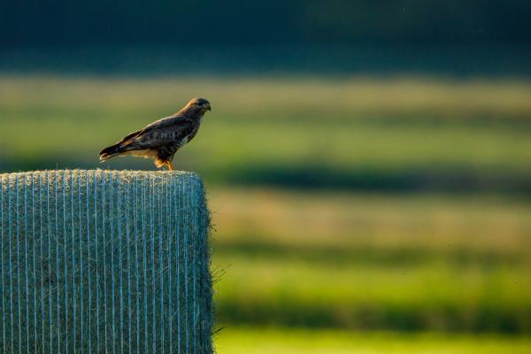 a common buzzard in the wild