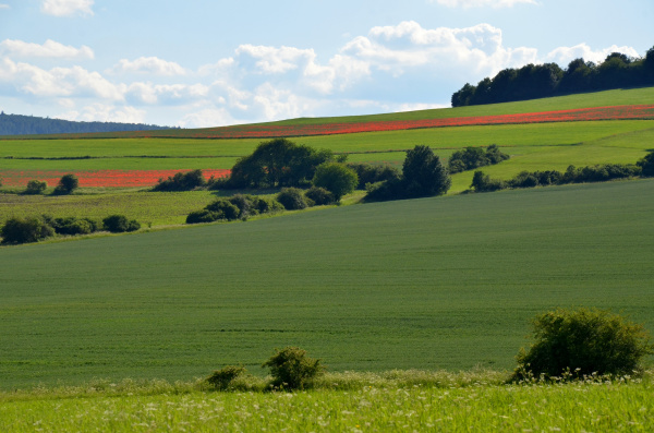 fields of red poppies in the