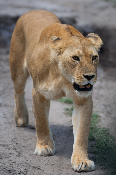 lioness walks towards camera on dirt