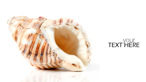 sea shell with the copy space