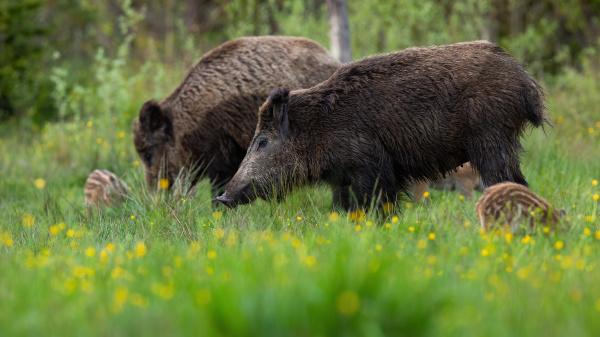 peaceful wild boar herd standing on