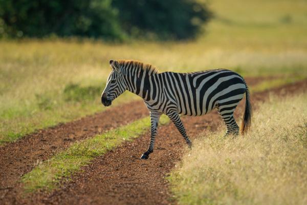 plains zebra crosses dirt track in