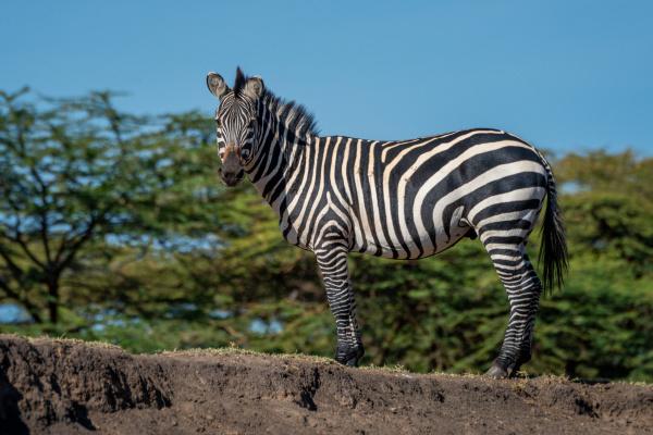 plains zebra stands on bank eyeing